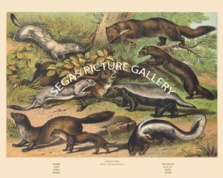 Ermine, Sable, Pine Martin, Pole Cat, Ferret, Weasel, Ratel